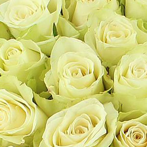 roses-blanches-signification