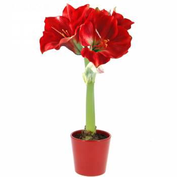 Plante fleurie - Amaryllis