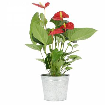 Plante fleurie - Anthurium éclatant