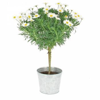 Plante fleurie - Arbre de Marguerites