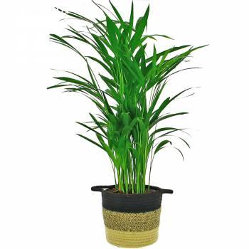 Plante verte - Aréca