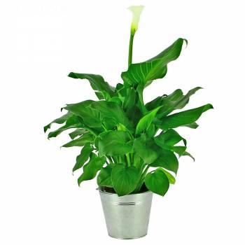 Plante fleurie - Arum Blanc