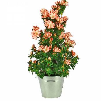Plante fleurie - Azalée pyramide