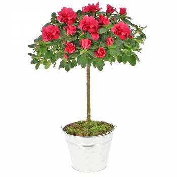 Plante fleurie - Azalée tige