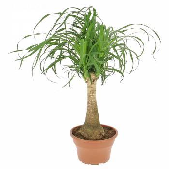 Plante verte - Beaucarnea