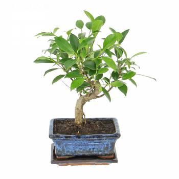 Plante verte - Bonsaï sacré