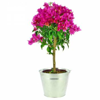 Plante fleurie - Bougainvillier Tige