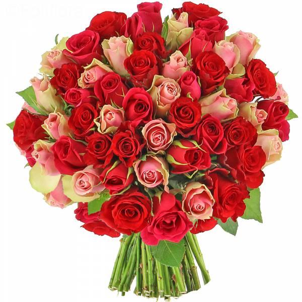 Roses Audace