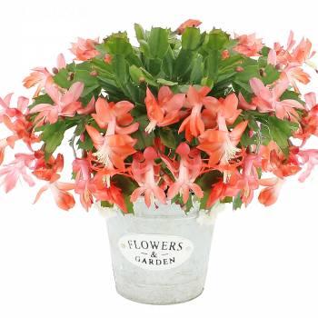Plante fleurie - Cactus d'hiver