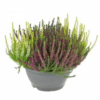 Plante - Calluna