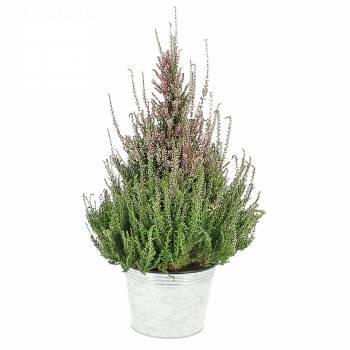 Plante fleurie - Calluna Pyramide