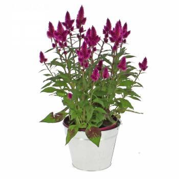 Flowering plant - Celosia Deep Purple