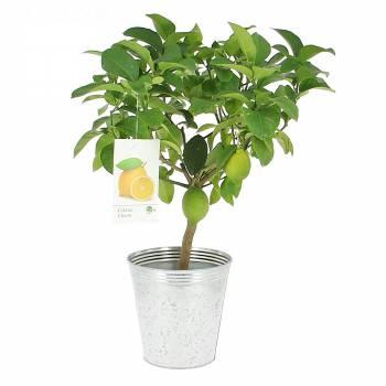 Fruitier - Citronnier
