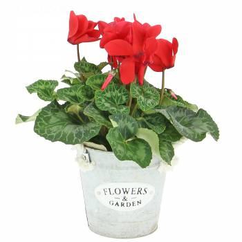 Flowering plant - Autumn Cyclamen