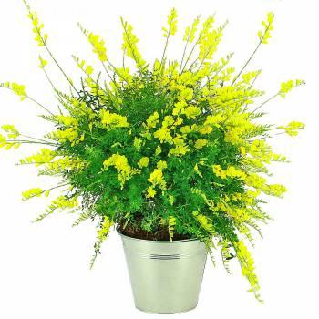 Plante fleurie - Cytise