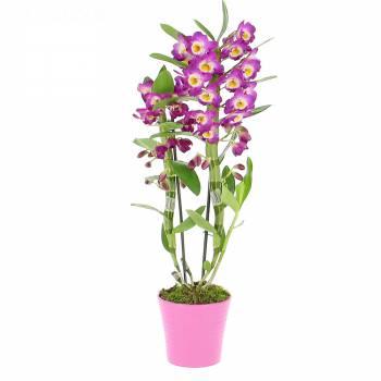Livraison express : Orchidée Dendrobium Violet
