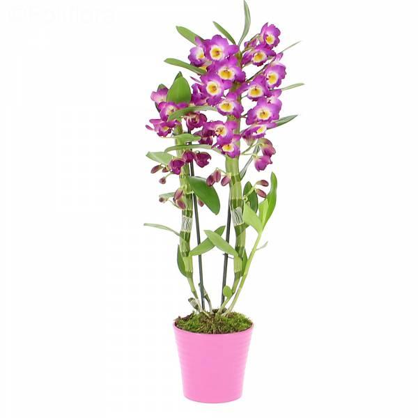 Orchidée Dendrobium Violet