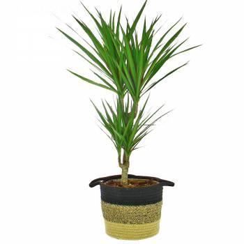 Plante verte - Dracaena Marginata