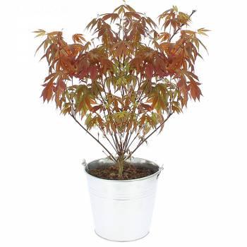 Plante verte - Erable du Japon