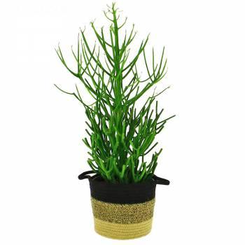 Plante verte - Euphorbia Tirucalli