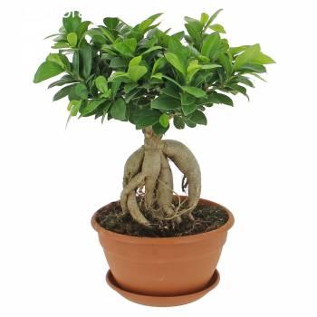 Plante verte - Ficus Ginseng