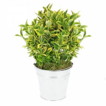Plante - Fusain