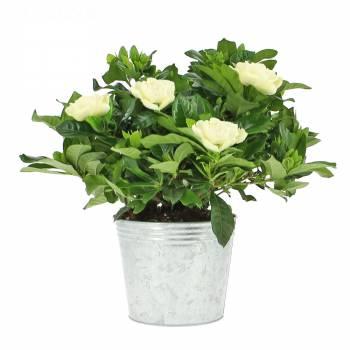 Flowering plant - Gardenia
