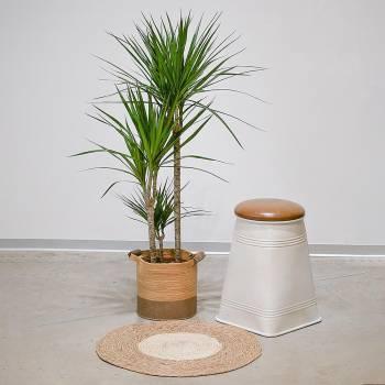 Plante - Grand Dracaena Marginata Vert