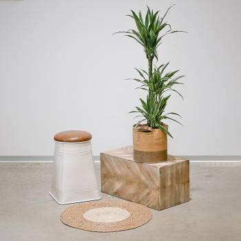 Plante - Grand Dracaena Warneckii