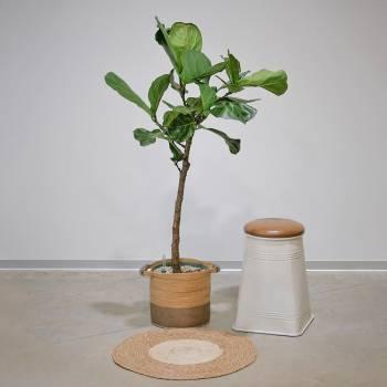 Plante - Grand Ficus Lyrata