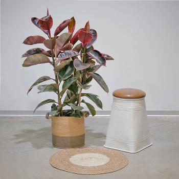 Plante - Grand Ficus Robusta Panaché