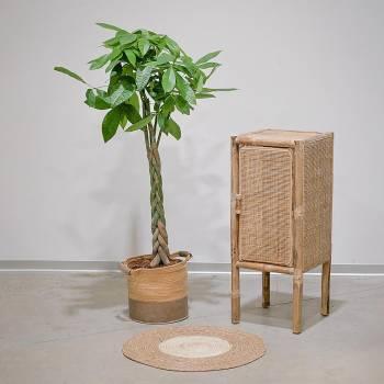 Plante - Grand Pachira