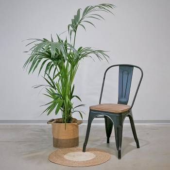 Plante - Grand Palmier Kentia