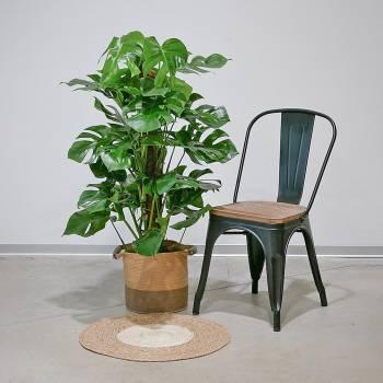 Plante - Grand Philodendron Monstera