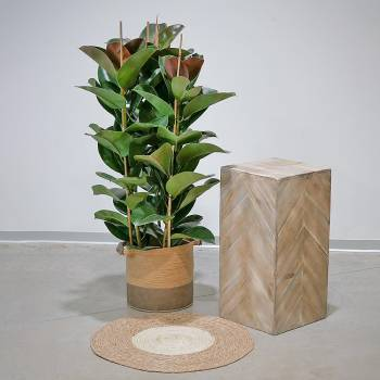 Plante - Grand Ficus Robusta Vert