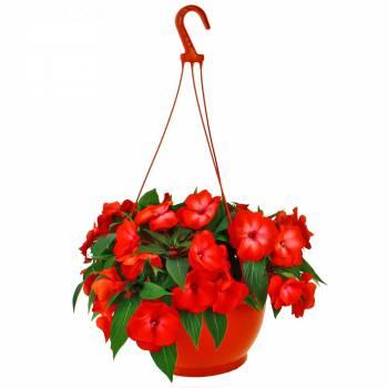 Plante fleurie - Impatiens de Nouvelle Guinée