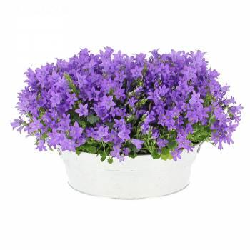 Plante fleurie - Jardinière de Campanules