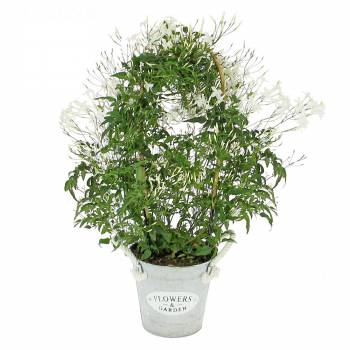 Plante fleurie - Jasmin