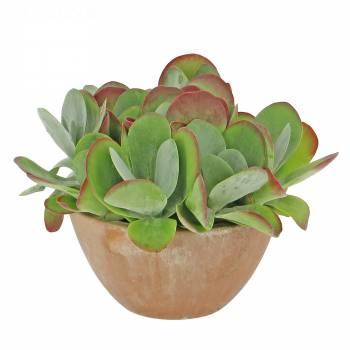 Plante verte - Kalanchoé Thyrsiflora