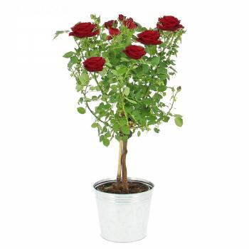 Plante fleurie - L'arbre à roses