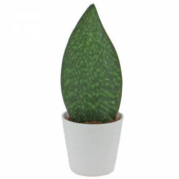 Plante verte - Langue de Belle-Mère