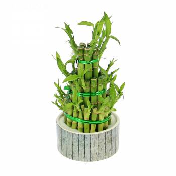 Plante verte - Bambou porte-bonheur