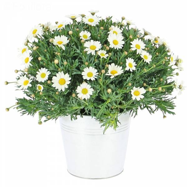 Marguerites de printemps