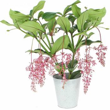 Plante fleurie - Medinilla magnifica