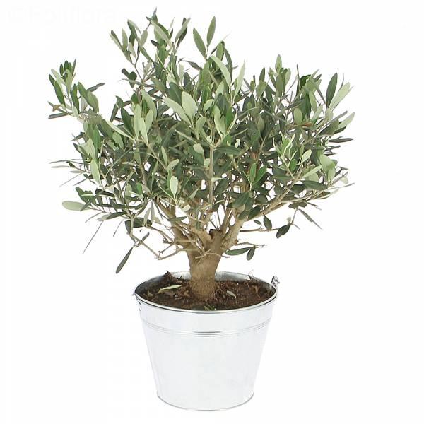 Légende d'olivier