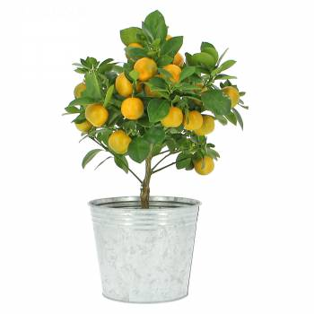 Fruitier - Oranger Calamondin