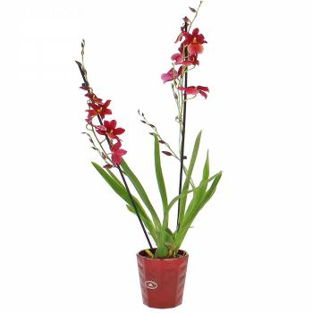 Orchidée - Orchidée Cambria Nelly Isler