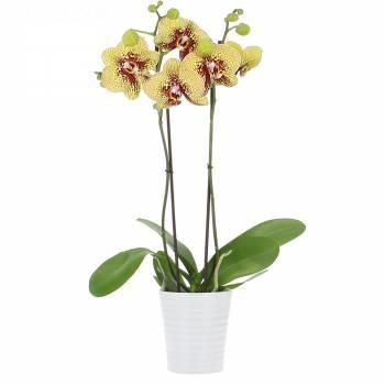 Orchidée - Orchidée Magic Kiss (2 branches)