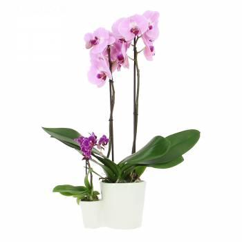 Orchidée - Orchidées Mère et Fille