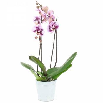 Orchidée - Orchidée Mouchetée